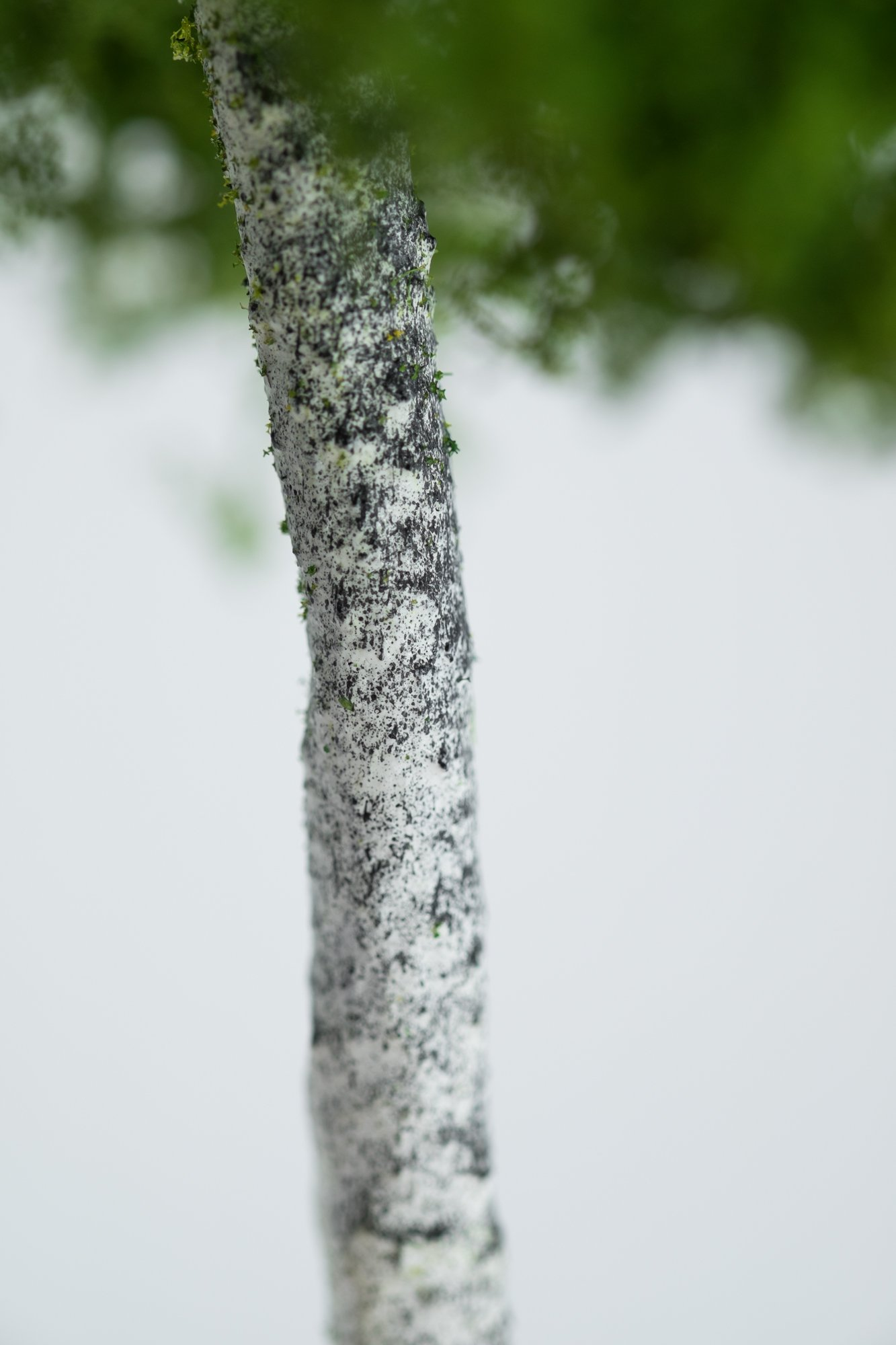 Trunk closeup of birch tree model. Made from high quality model supplies by Primo Models.